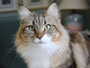 evelyn angitine maine coon cat ohio