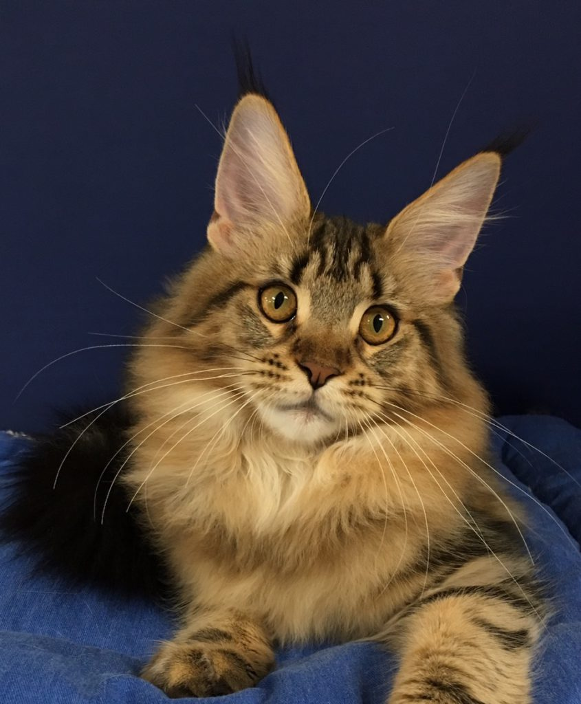 Ohio Maine Coon Cats | Gallery | Angtini Maine Coon Cattery