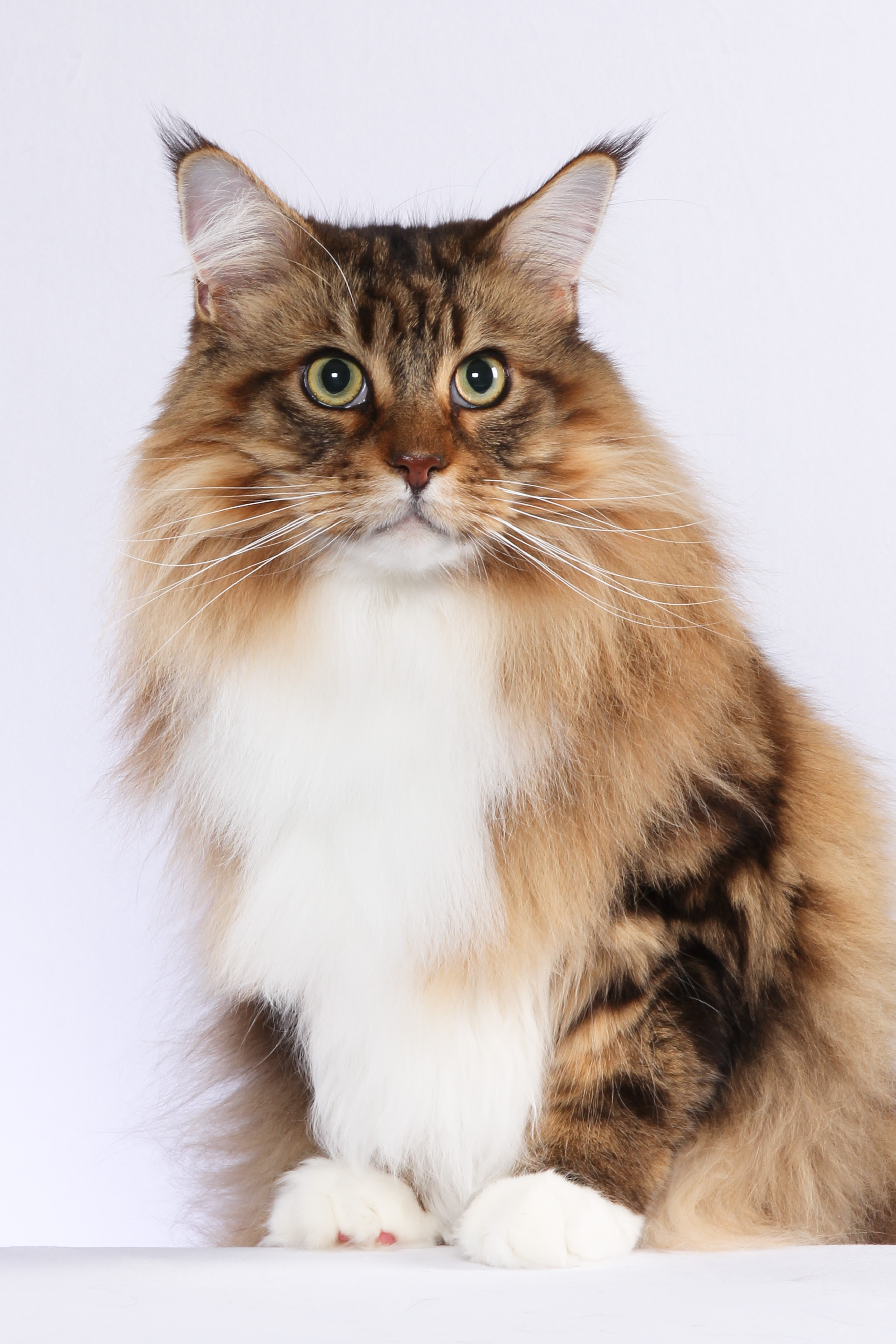Harley big Maine Coon male cat
