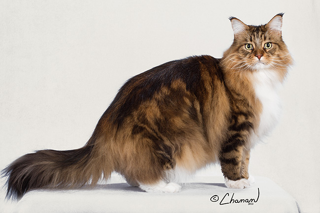nick charles maine coon cat