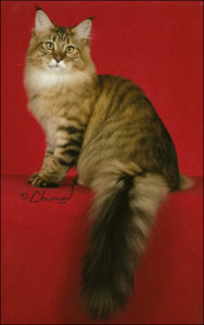 Angtini Emalaith Maine Coon cat