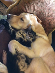 maine coon kitten and dog