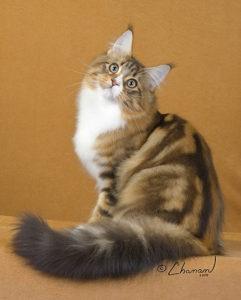 Joe Fish Maine Coon Cat