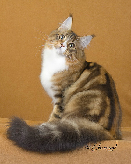 maine coon brown tabby