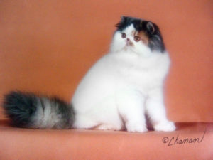 pansy persian dm angtini cattery