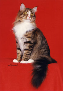 Sweety Koon maine coon cat photo