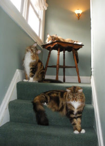 maine coon cats on stairs