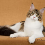 maine coon truly angtini cattery