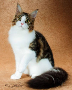 brown tabby with white maine coon