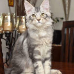 silver main coon cat angtini cattery