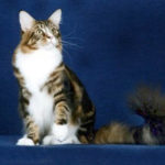 okee dokee maine coon cat
