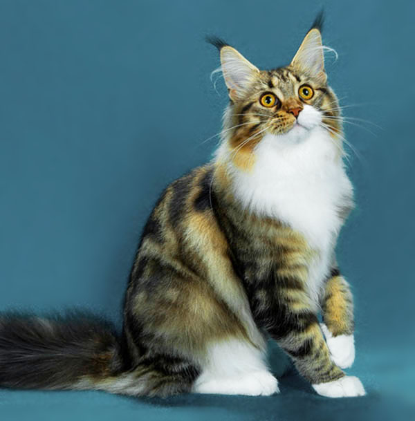 coco lopez angini maine coon cat