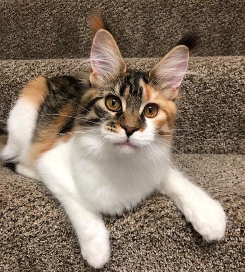 female main coon cat ohio