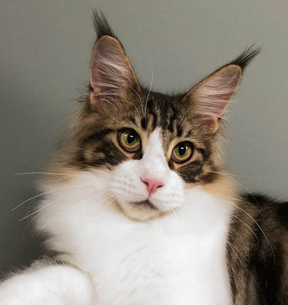 tomaso maine coon male cal