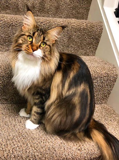 coco female maine coon cat